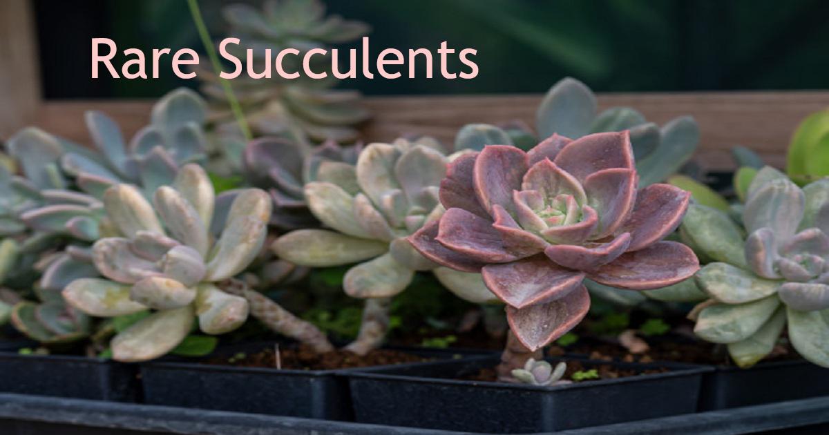 Top 13 Rare Succulents Plants Explore Rare Succulents For Sale