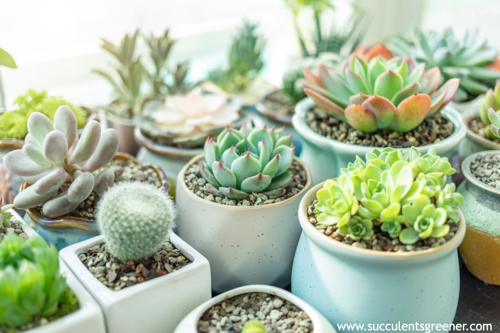 How To Water Succulents 10 Best Tip For Watering A Succulent