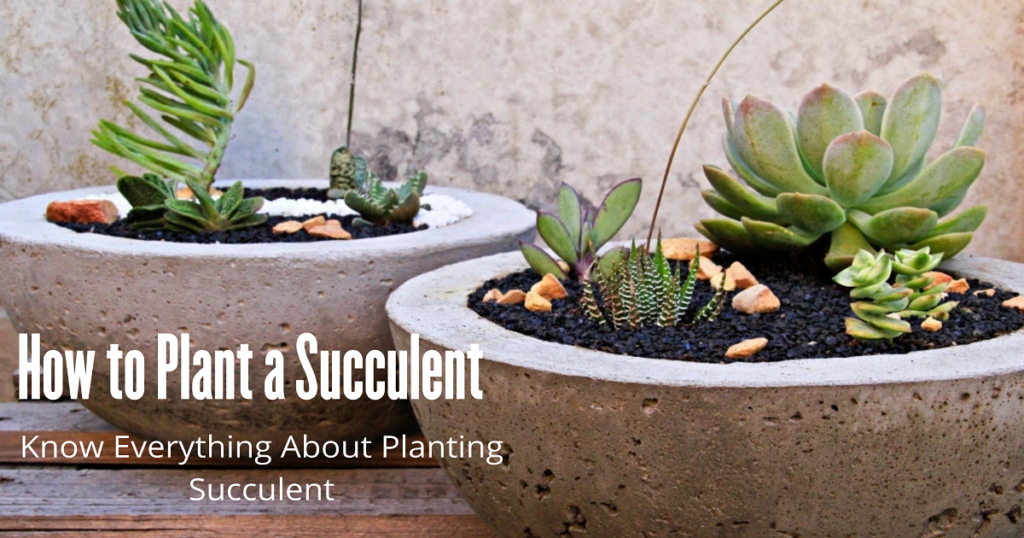 How to plant succulent