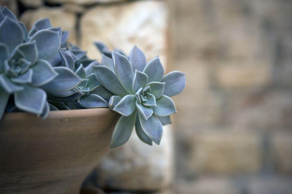 Succulent pots terracotta