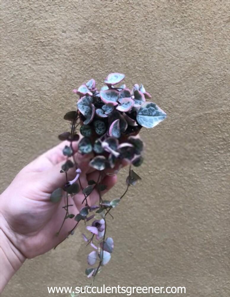 variegated string of hearts